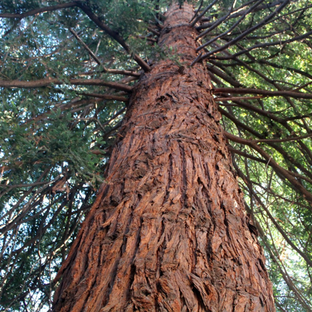 Redwood Tree Looking Up