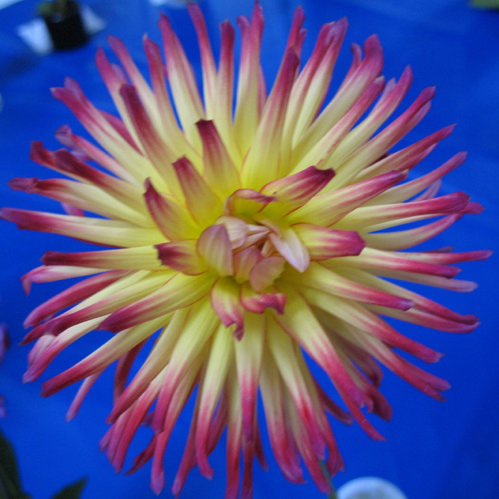 Yellow + Pink Flower with Blue Background