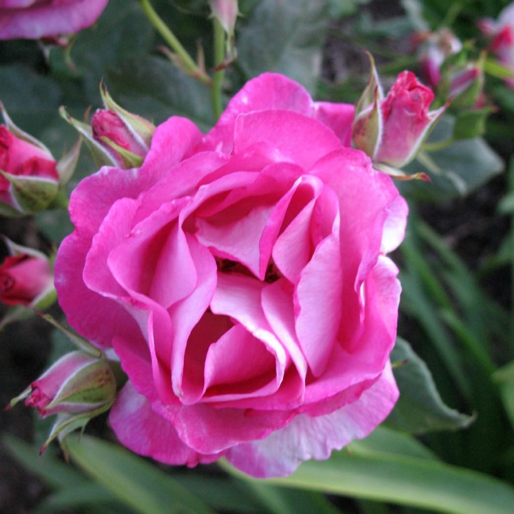 Pink Rose + Buds