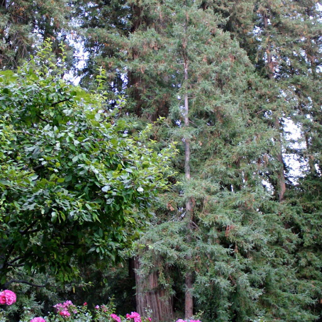 Tall Redwood Trees and Flowers